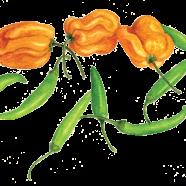 Habanero + Thai peppers