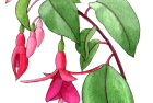 fuchsia hybrid